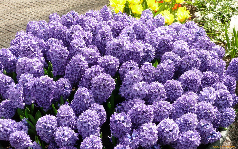 Цветы гиацинты картинки 2